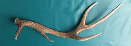 Deer antlers for sale -decorative and dog chews Melbourne